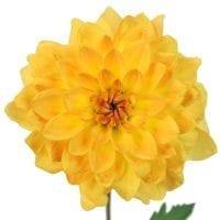 Yellow Dahlia Flowers