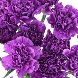 Carnation Flowers Deep Purple