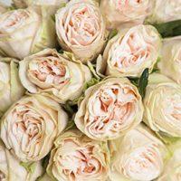 Garden Roses Peach