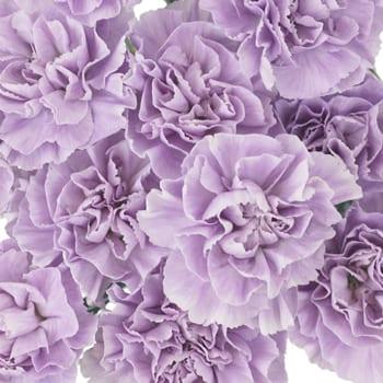 Light Purple Carnation Lavender