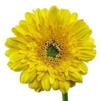 Yellow Gerbera Daisy