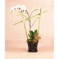 Valentine's Day blooming Phalaenopsis orchid- the best orchid for Valentine's Day.
