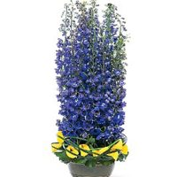 Delphinium flowers-Distinguished wedding anniversary gift.
