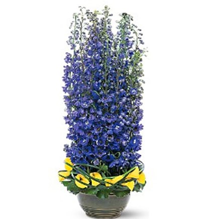 Delphinium flowers-Distinguished wedding anniversary gift.