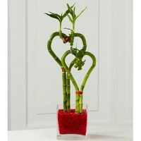 Lucky Bamboo Heart Shaped, the best floral gift on Valentine's Day.