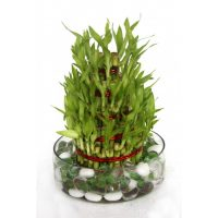 Lucky Bamboo Tower plant, symbol of prosperity & happiness