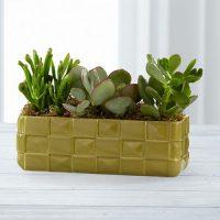 Indoor Succulent Plants