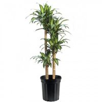 Dracaena Indoor Plants