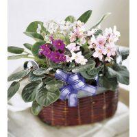 African Violet Plants