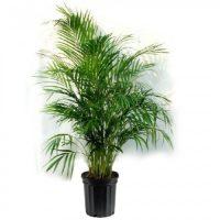 Majesty Plant Palm