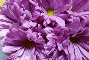 Chrysanthemum Spray Daisy Purple