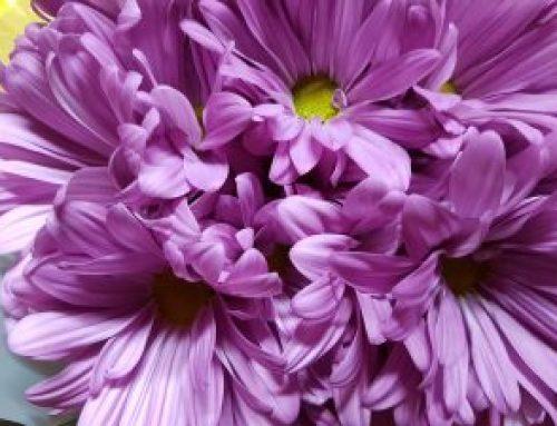 How to Arrange Chrysanthemum Spray Daisy Purple?