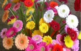 Gerbera Mini Assorted