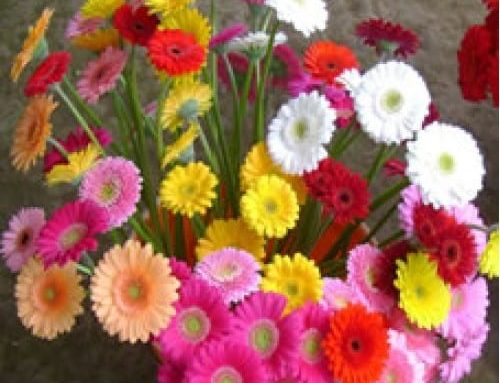The Cheerful Flowers of Gerbera Mini Assorted Are Perfect For a Birthday Party