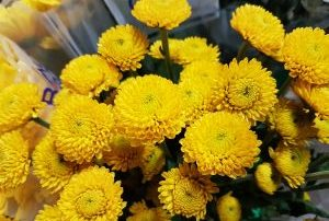 Chrysanthemum Spray Button Yellow