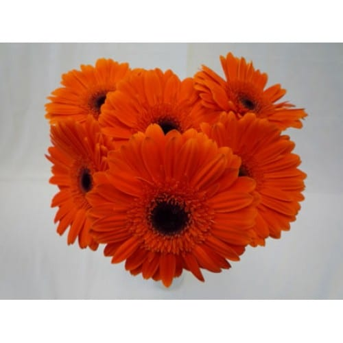 Gerbera Daisy Orange Is Your Best Option For DIY Arrangements Without Any Fillers