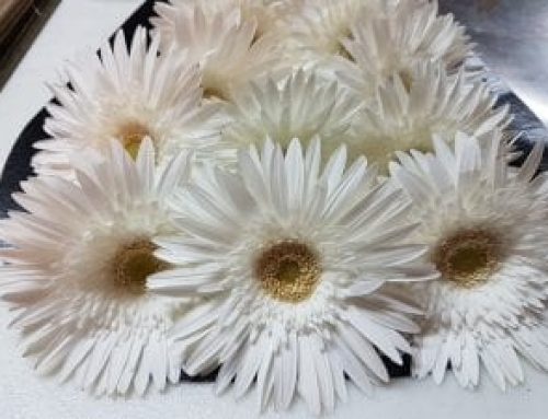 Gerbera Daisy White, a Complete Beautiful Bouquet On Its Own!