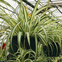 spider plants indoor