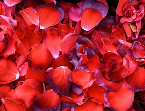 Rose Petals Toronto – Usage, Drying And Ideas