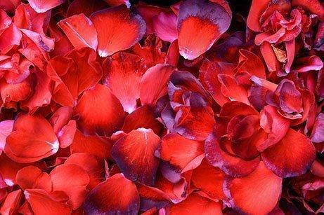 Rose Petals Toronto
