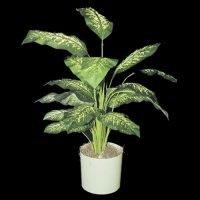 The Dieffenbachia plant