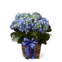 Sympathy Blue Hydrangea