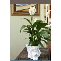 Peace Lily Funeral Plants