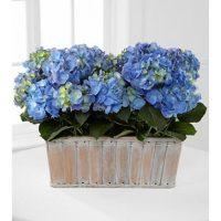 Tribute Blue Hydrangea
