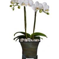 orchids sympathy plants