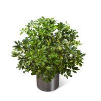 Sympathy Plant Schefflera