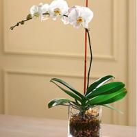 phalaenopsis orchids plant