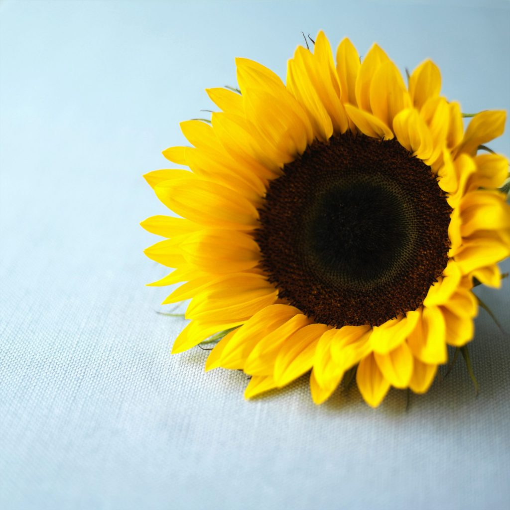 Meanings of sunflower