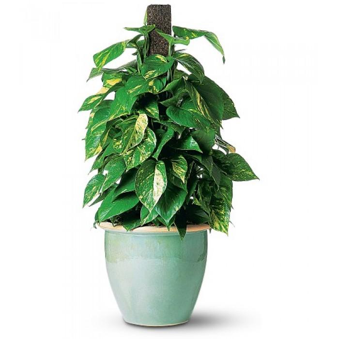 Proud Pothos plant